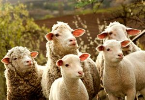 کاربرد بیوتکنولوژی در فارمینگ ژنی و ایجاد حیوانات ترانسژنیک